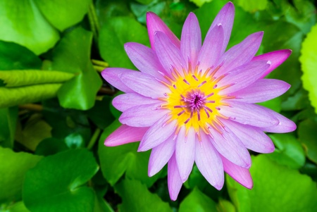one yellow violet lotus on green background Stock Photo