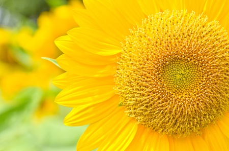 partially close up view of sunflower Stock Photo
