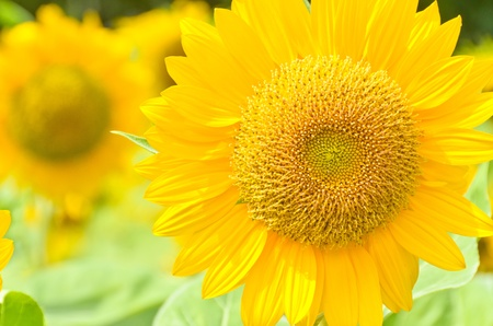 close up view of sunflower with other in the background Stock Photo