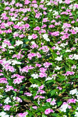 white and pink  flower field