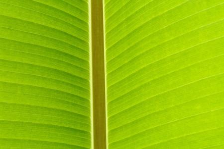 foglia di banana vicino