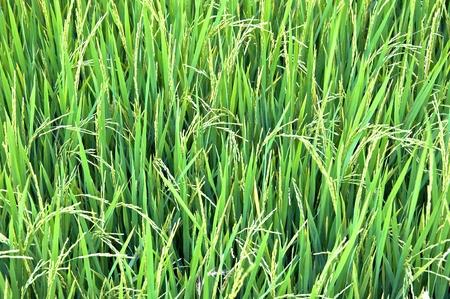 campo di riso fresco Archivio Fotografico