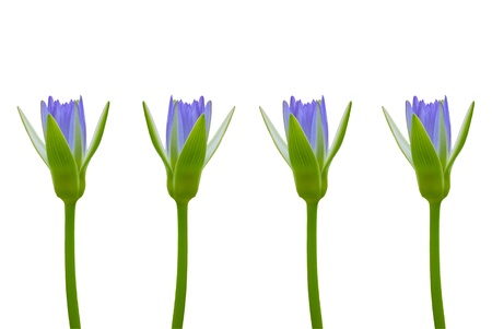 group of violet blue lotus in row isolated on white background photo