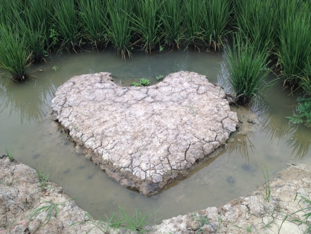 rice field and soil in heart shape with water surrounded Stock Photo