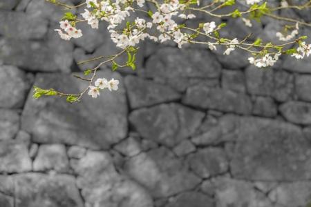 sakura fiore sul ramo di albero con il rock in background