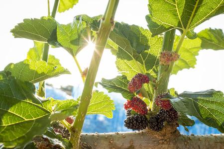 Mulberry frutta in cespuglio ramo e del foglio in su sotto il sole scintillante in background