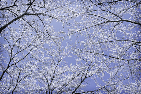 blossom sakura flower on tree in low angle view under blue winter sky Stock Photo