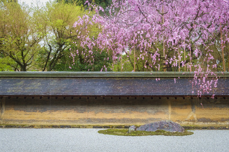 traditional japanese garden with with ancient fence and blossom pink sakura flower on tree under light rain
