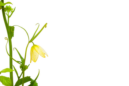 beautiful yellow flower with green leaf and curve branch on white background Stock Photo