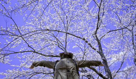 clam gardens: happy action women full spreading arm with face up under blossom sakura flower tree and winter sky