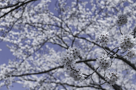 group of blossom sakura flower on tree under winter sky