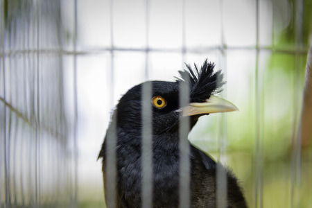 tropical black bird look out lock in cage Stock Photo