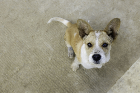 brown white big ear cute puppy look up from ground shallow depth of field Stock Photo