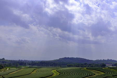 large landscape view of tea tree large curve field with green mountain and sun ray cloud sky Chiang Rai city northern Thailand