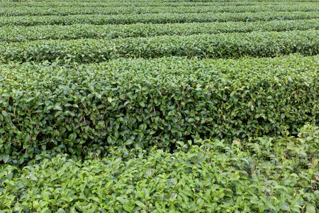 row of tea tree field close up view Chiang Rai city northern Thailand Stock Photo