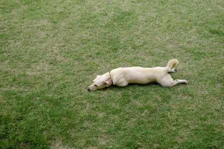 cute light brown dog lay down in relax and rest pose on green grass Stock Photo