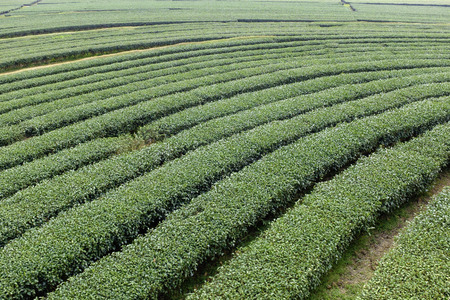 curve row tea tree large field in Chiang Rai city northern Thailand Stock Photo