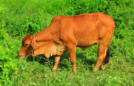 Cow eating grass on meadow photo