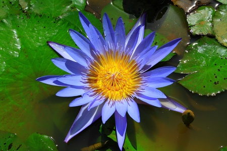 Blue lotus flower in water Stock Photo