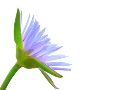 Purple lotus isolated photo