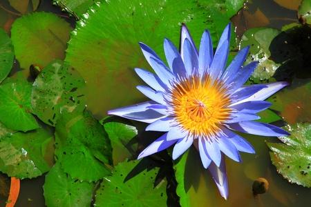 lirio acuatico: Azul loto en el agua Foto de archivo