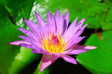 Purple lotus blossom photo