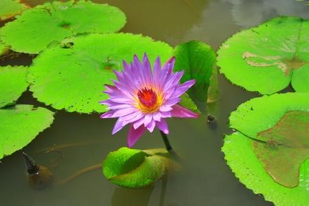 Purple lotus in water photo
