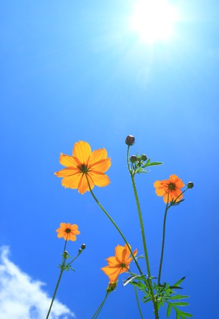 Cosmos flower and sunlight photo