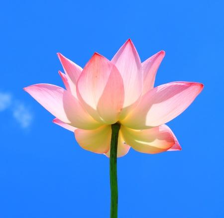 pink flower background: Pink lotus