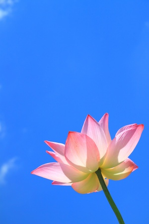 Pink lotus on blue sky
