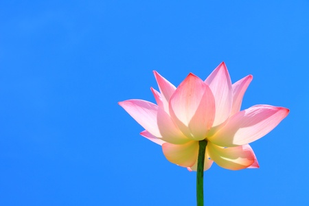 Pink lotus and blue sky