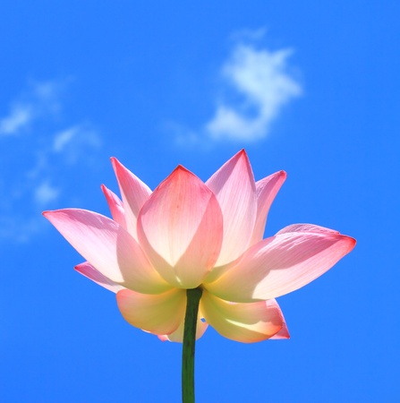 Pink lotus on blue sky and cloud photo