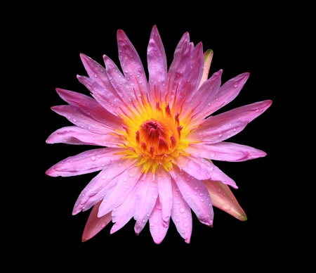 Pink lotus isolated on black Stock Photo - 11847126