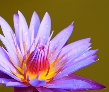 Beautiful violet lotus blossoming photo