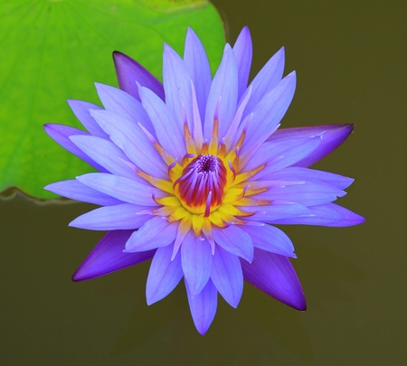 Beautiful blue lotus photo