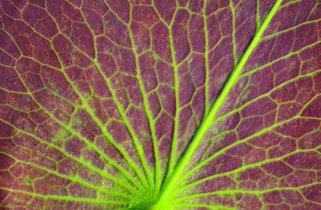 lotus leaf: Details a lotus leaf