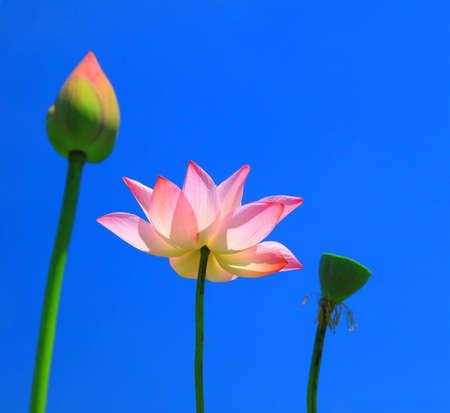 Pink lotus on blue sky photo