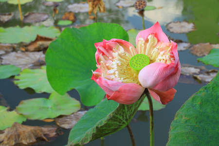 Pink lotus flower blossoming photo