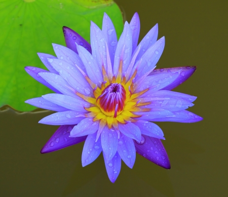 Beautiful blue lotus and water drop photo