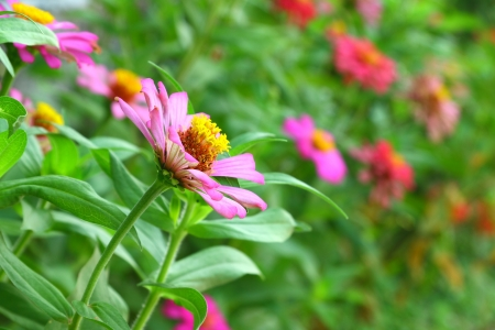 Pink zinnia  Stock Photo - 13760063