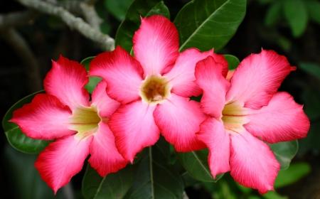 Red adenium flowers Stock Photo - 14587759