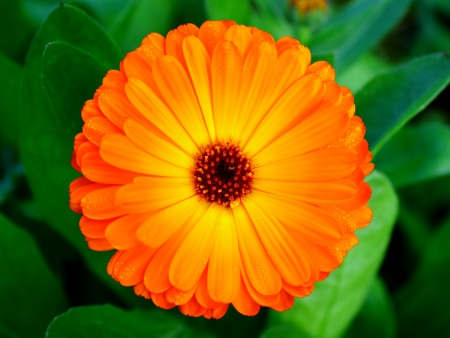Top view of calendula flower Stock Photo - 16257550