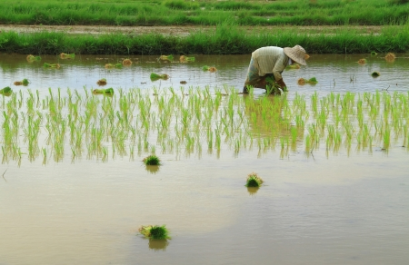 Farmer are planting rice in farm