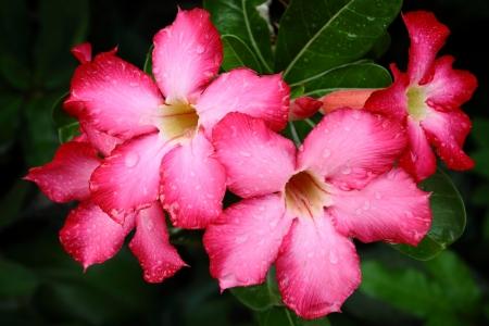Red adenium flowers Stock Photo - 16695711