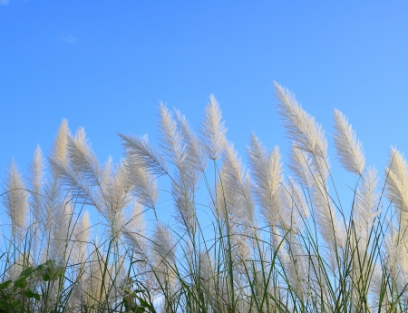 Pampas grass or Cortaderia selloana photo