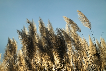 Sunlight behind the pampas grass flowers photo