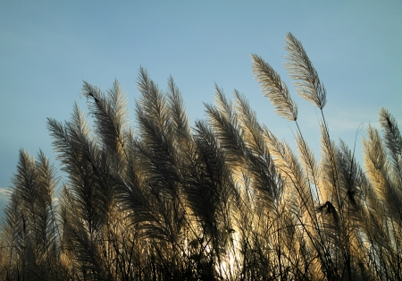 Sunlight behind the pampas grass flowers