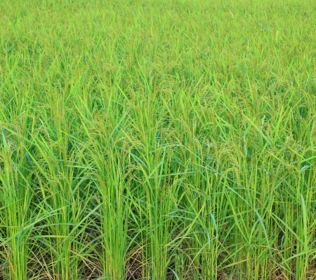 Rice field with rice panicle photo
