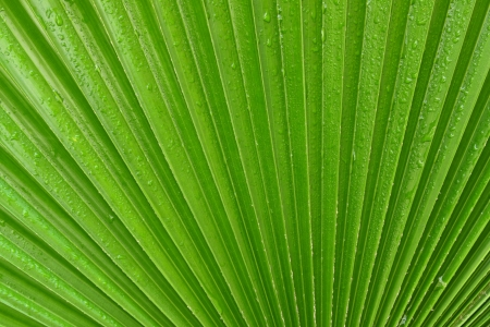 Palm leaves texture with water drops Stock Photo
