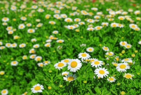 White chamomile flowers photo